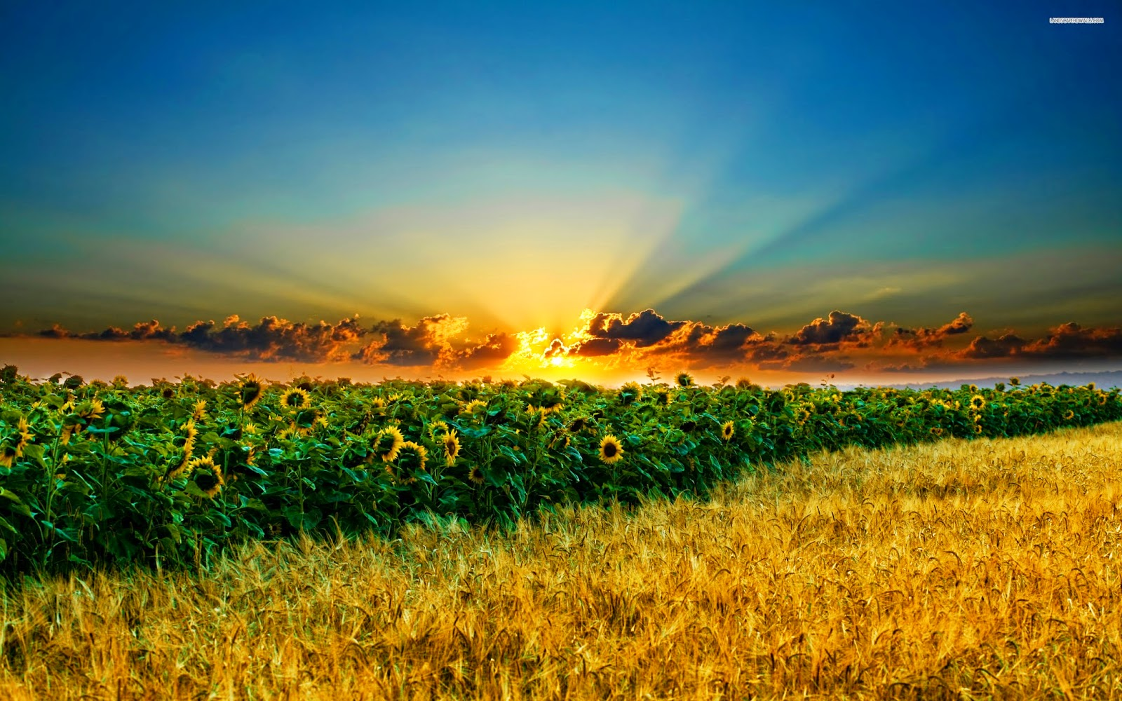 خلفية طبيعية لعباد الشمش والقمح