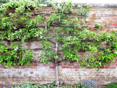 Spring blossom espalier apple tree Westbury Court Garden Green Fingered Blog