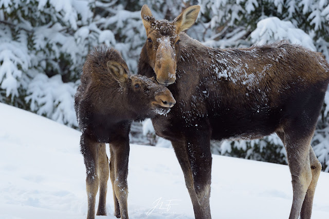 orignal, moose, wildlife, wild, quebec, canada, forêt boréale, taïga, boreal forest, forest, snow, winter, hiver, neige, animal, animaux, sauvage