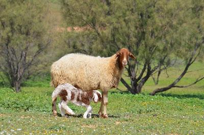 פרשת השבוע - בשר בחלב