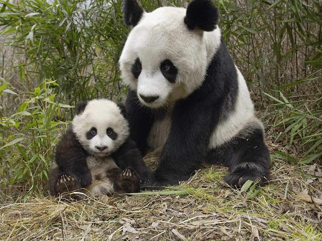 Resultado de imagen de blogspot, oso panda