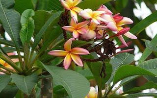 Gambar Bunga Kamboja yang Indah 4