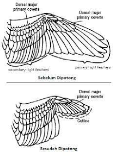 cara memotong sayap lovebird