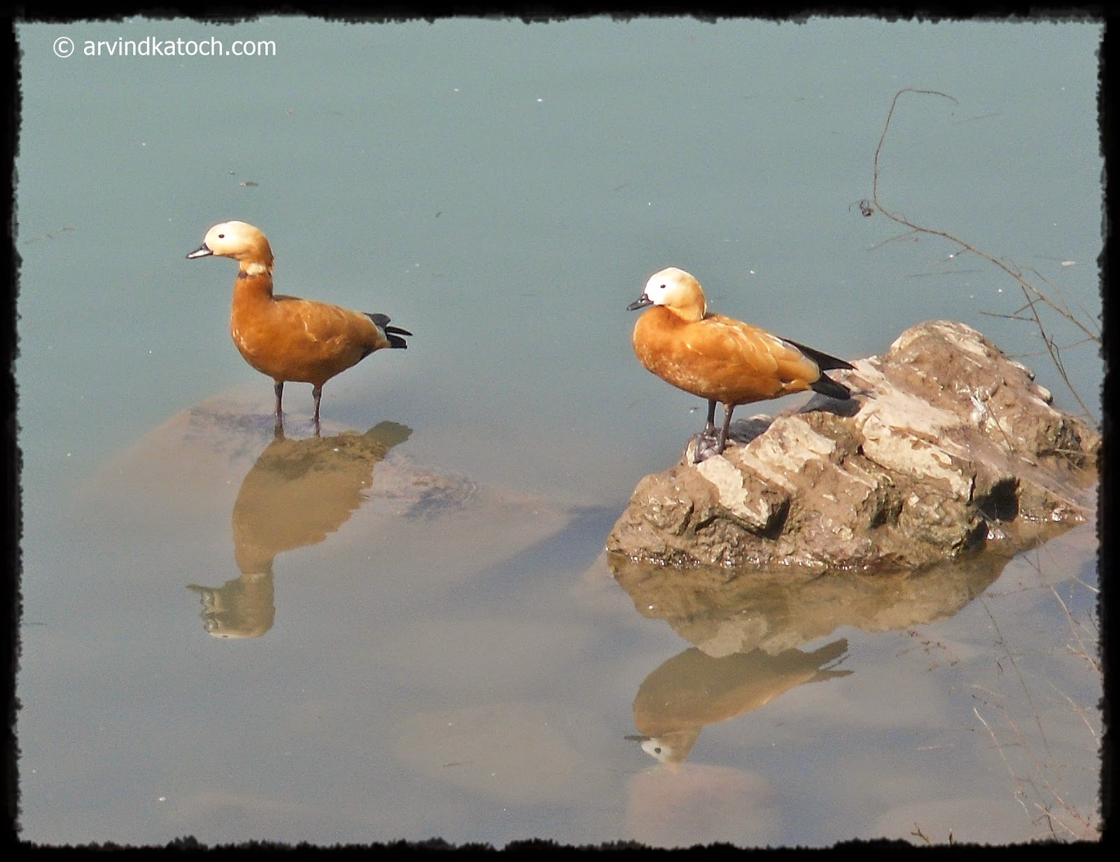 Ruddy Shelduck, Shelduck, Duck, Water bird