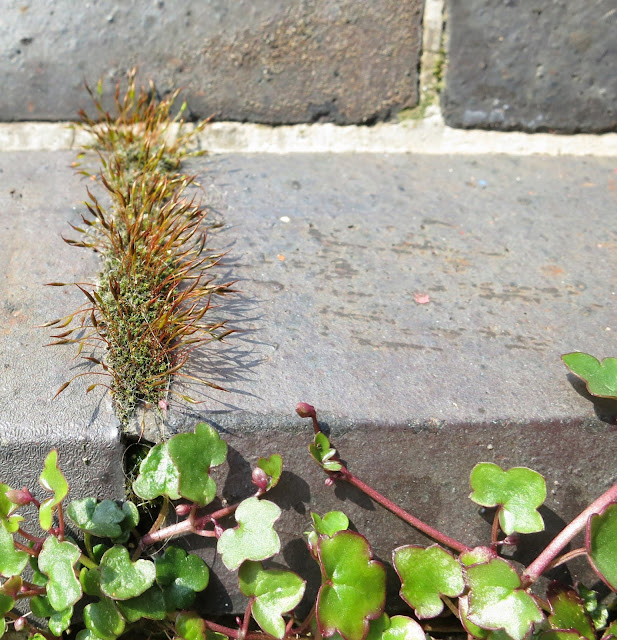 Wall Screw-moss (Tortula muralis) growing in a crack between bricks on ledge on a building