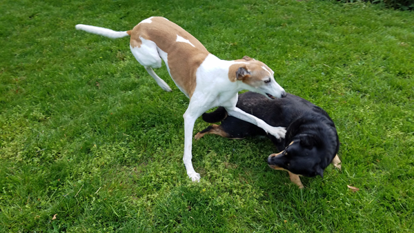 image of Zelda falling over, as Dudley catches her and launches a paw at her
