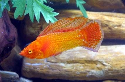 Dunia Ikan Hias - Golden Sailfin Molly