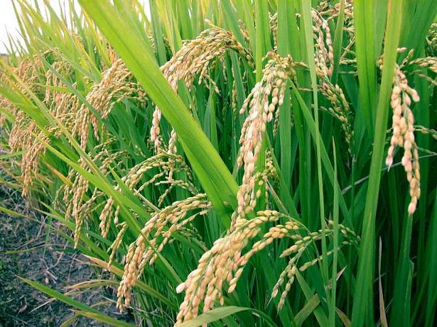 Ρύζι - τύποι και είδη ρυζιών, τρόποι μαγειρέματος