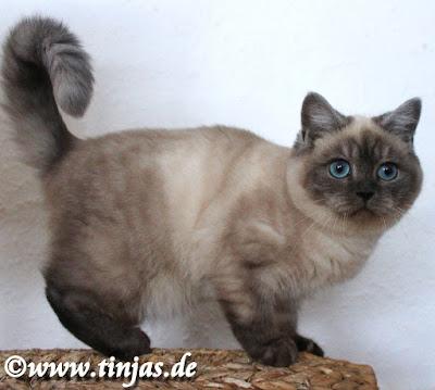 Katzenbaby Britisch Kurzhaar in silver point