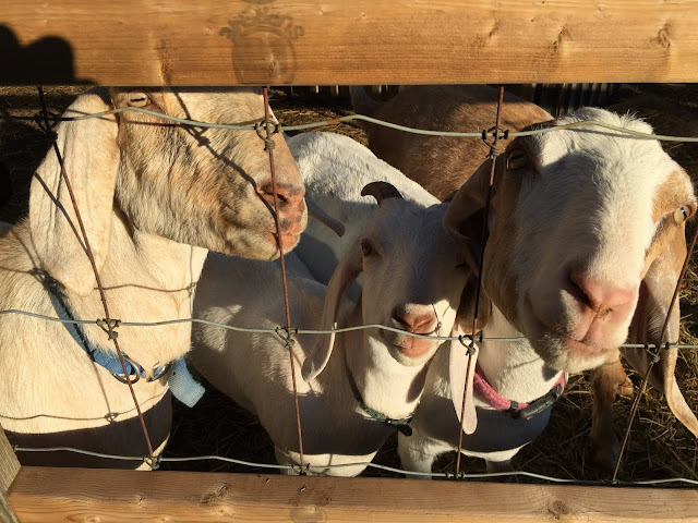 Goats look great in full sun - people just look tired and wrinkly