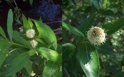 Sarandí colorado Cephalantus glabratus
