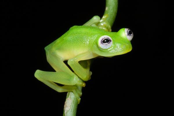 Loài ếch thủy tinh có vẻ ngoài ngộ nghĩnh giống con rối ếch Kermit nổi tiếng