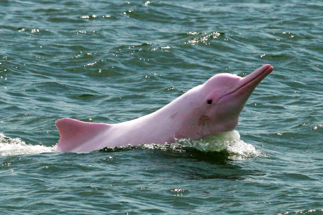 A pink river dolphin swimming