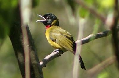 Tips Akurat Mengetahui Perbedaan Burung Samyong Jantan Dan Juga Betina Dari Segi Fisiknya