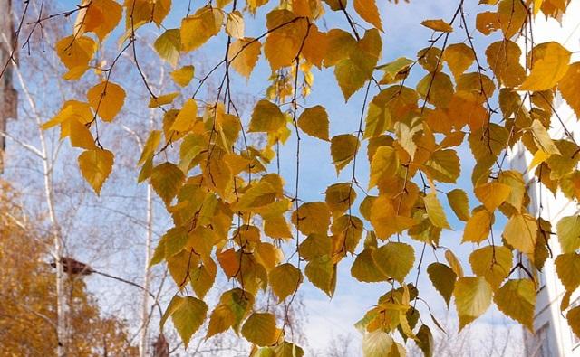 Abedul amarillo Betula alleghaniensis
