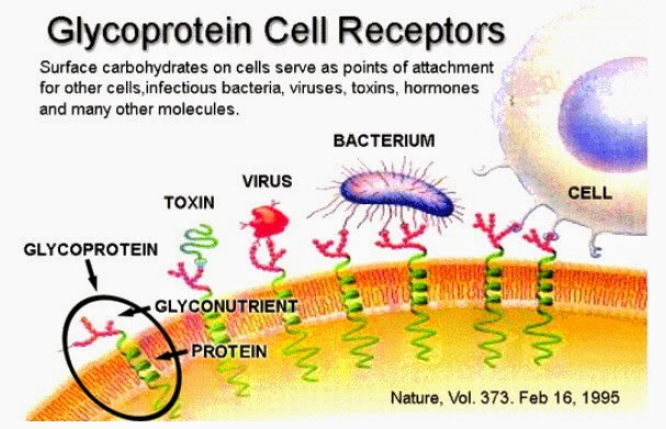 Glycoprotein In Cell Membrane