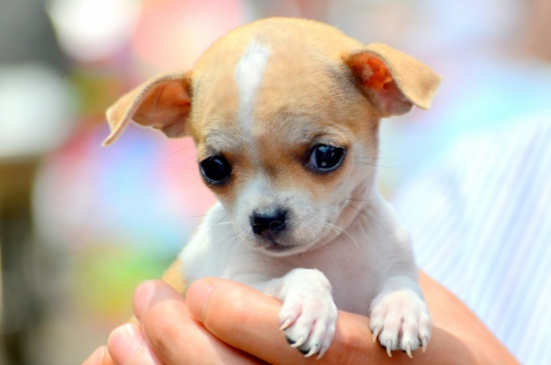 Chihuahua Lifespan – How Long Do Chihuahuas Live