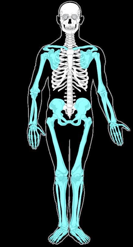 anatomie squelette appendiculaire ostéologie infirmier