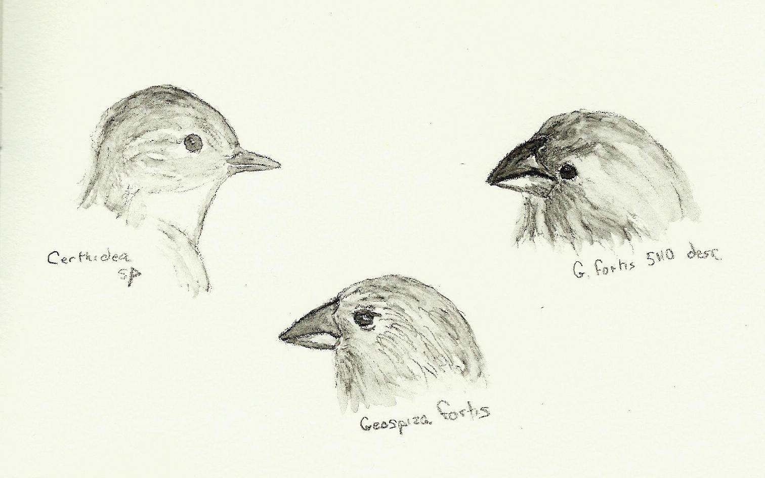 Shrubbery Darwin S Finches In Soluble Graphite