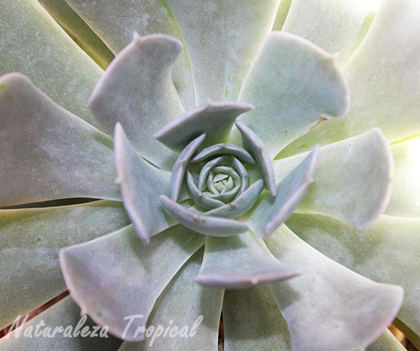 Forma de roseta de las hojas de la Flor de Mármol, Echeveria pollox
