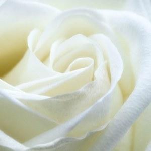 Mawar putih berarti kemurnian
