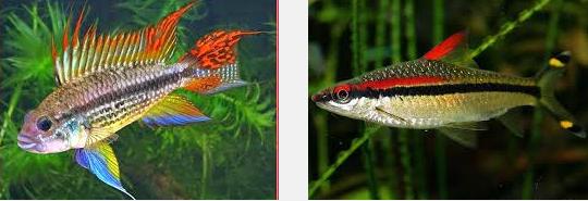 Mengenal Ikan Rainbow Boesemani