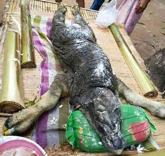 bivol, krokodil