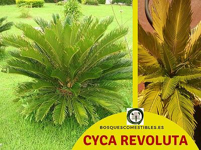 La falsa palmera, Cyca revoluta, es más pequeña que a Cyca circinalis