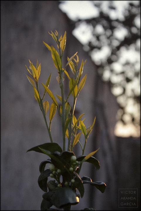 fotografía, Fuente Álamo, naturaleza, naranjo, hojas, brotes