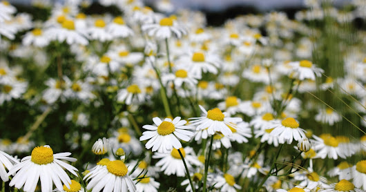 Calm Down this Holiday Season with Chamomile
