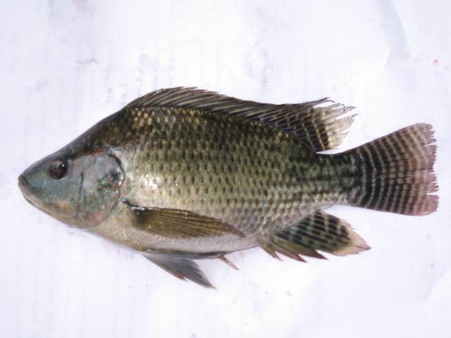 Gambar dan Foto Ikan Mujair