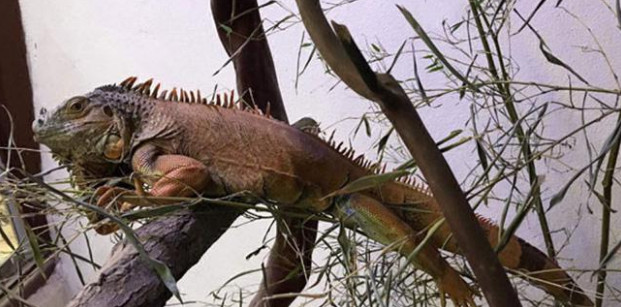 BERHIL PRESS..Bodrum'da sokağa terk edilen metrelik iguana yeni yuvasında