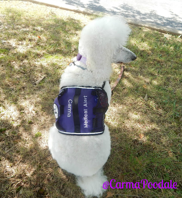 White standard poodle, Carma Poodale, in purple medical alert service dog vest