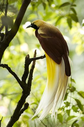 Gambar Burung Cendrawasih Papua