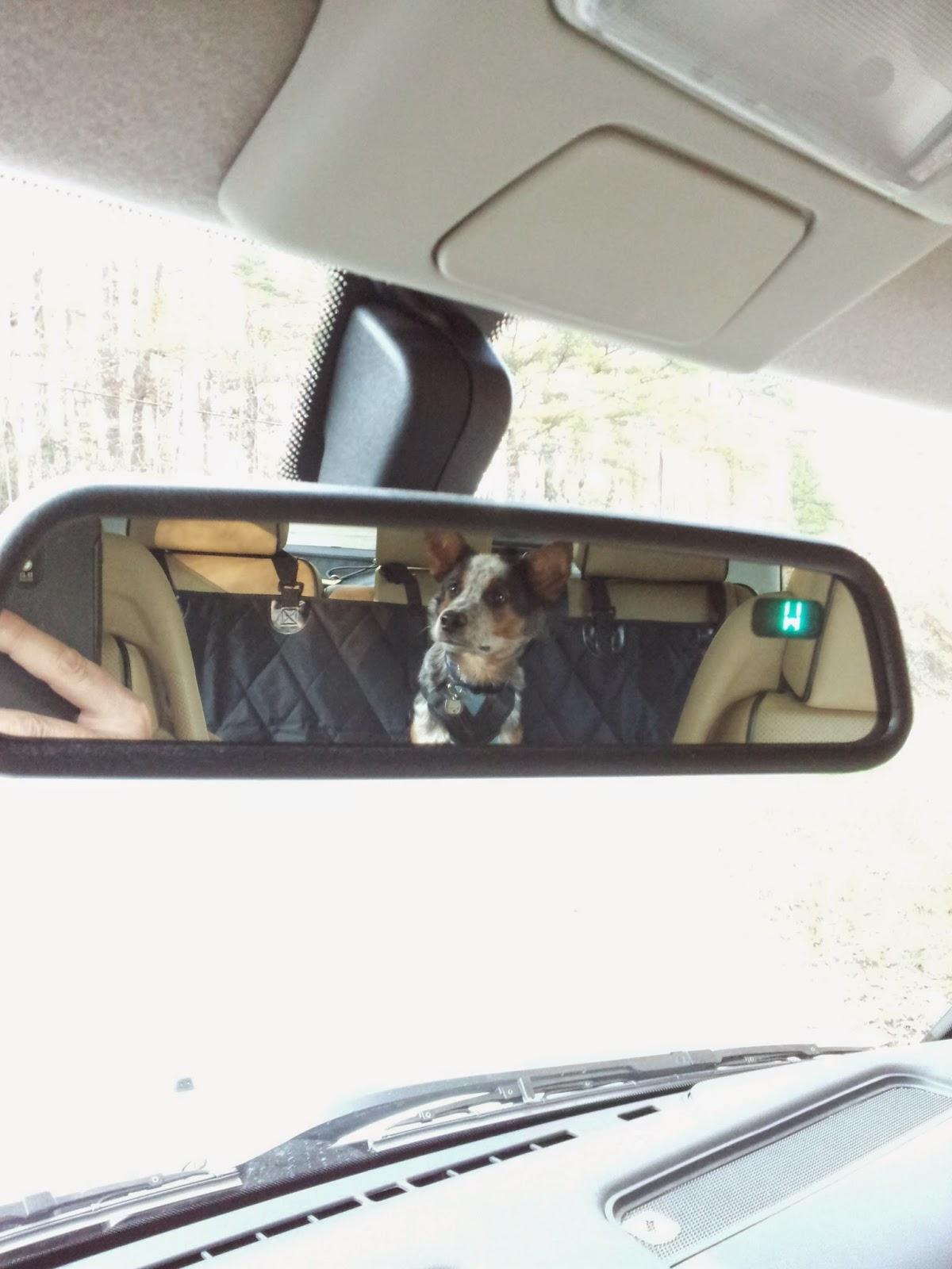 Dog Car Restraint Laws Western Australia