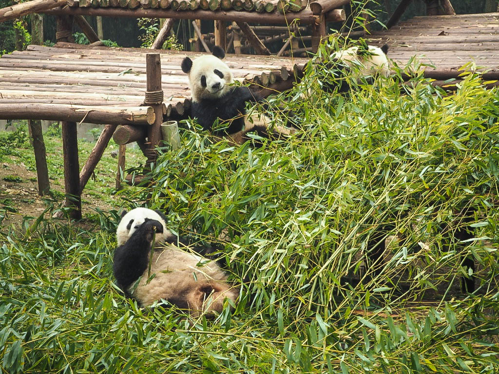 Pandas eating bamboo at Chengdu Panda Sanctuary, China