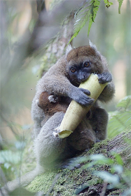 Climate change may slowly starve bamboo lemurs