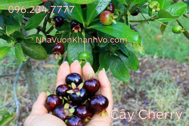 Mua bán rao vặt: Trồng cherry để làm đẹp vườn nhà Cay-cherry-khanh-vo-6