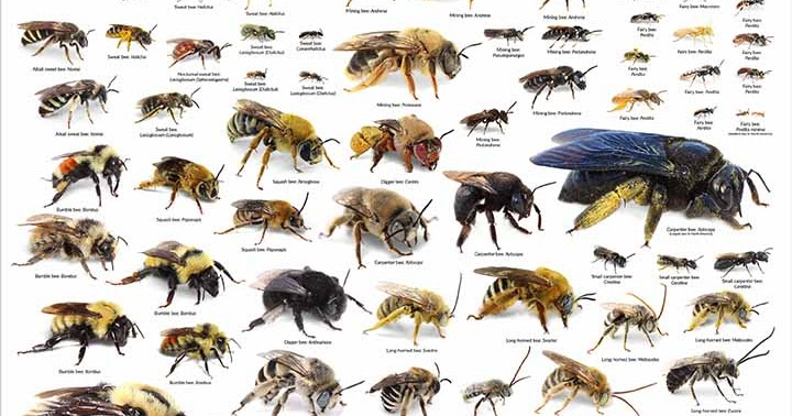 the importance of the north american honey bee The different types of honey bees honey bees although north america has about 4,000 native species of bees honey bees were brought to america in the 17th century by the early european settlers.