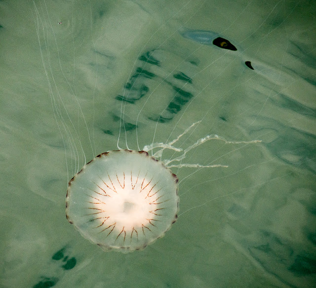 Photo of another compass jellyfish