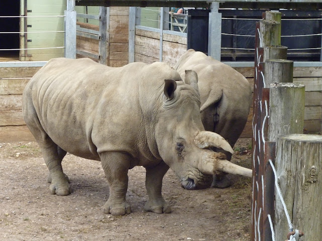 white rhino at marwell zoo