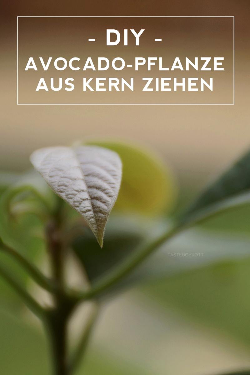 DIY: Avocado-Pflanze aus Kern ziehen. Zimmerpflanze als Dekoration selbermachen. Tasteboykott Wohnblog.