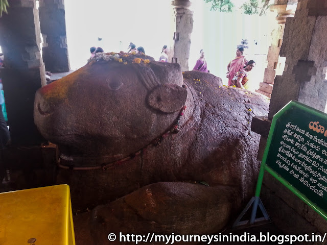 Growing Nandi at Yaganti