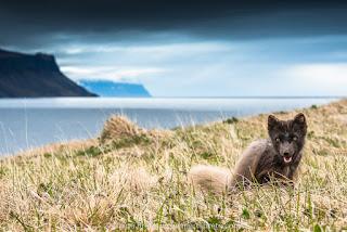 Expedición Zorro Ártico - La gran aventura fotográfica de Islandia