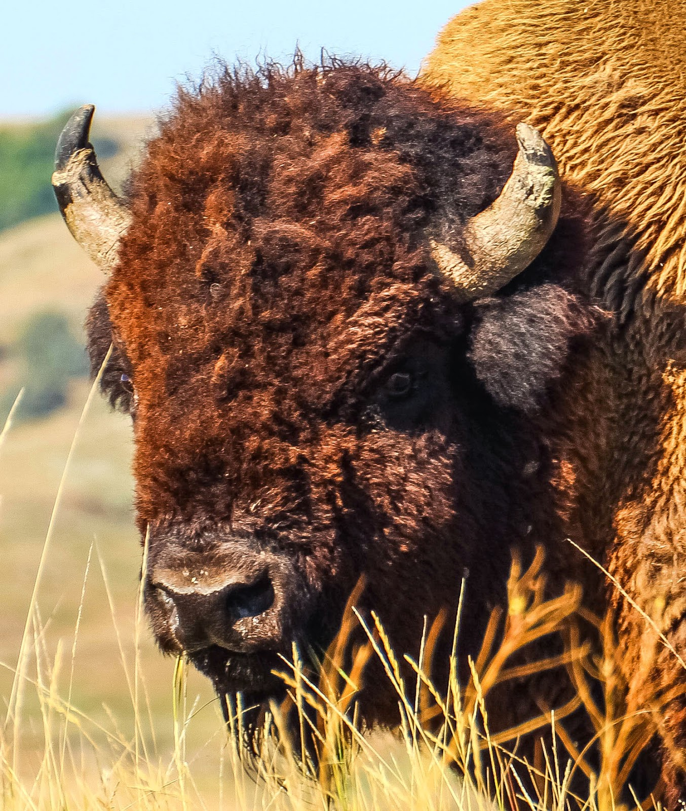 cannundrums  plains bison