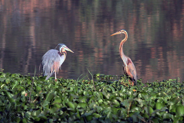 Gray (left) and Purple (right) Heron