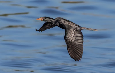 Reed cormorant in Flight - Woodbridge Island / Cape Town