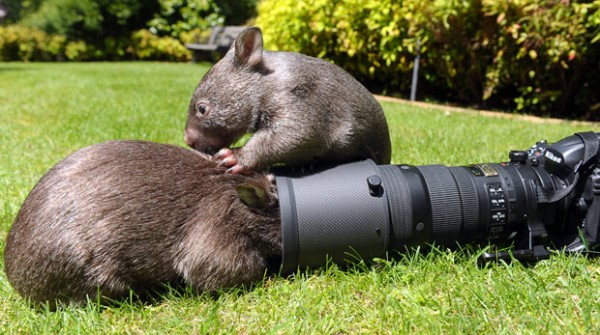 Best Cute Wallpapers For Facebook Cute Funny Animalz Funny Wombat 2013 Best Images