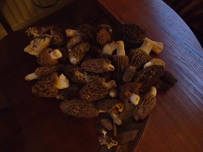 Sudety, grzyby 2017, grzyby wiosenne, grzyby w kwietniu, grzyby w Czechach, smardz stożkowaty, smardzówka czeska, piestrzenica kasztanowata