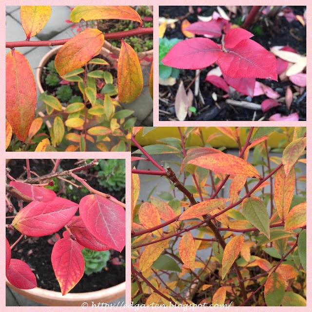 Heidelbeeren im Herbstkleid